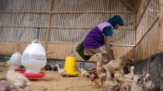 Virus (H5N1) flu burung yang menyerang unggas di Desa Panasen Kecamatan Kakas Barat Kabupaten Minahasa